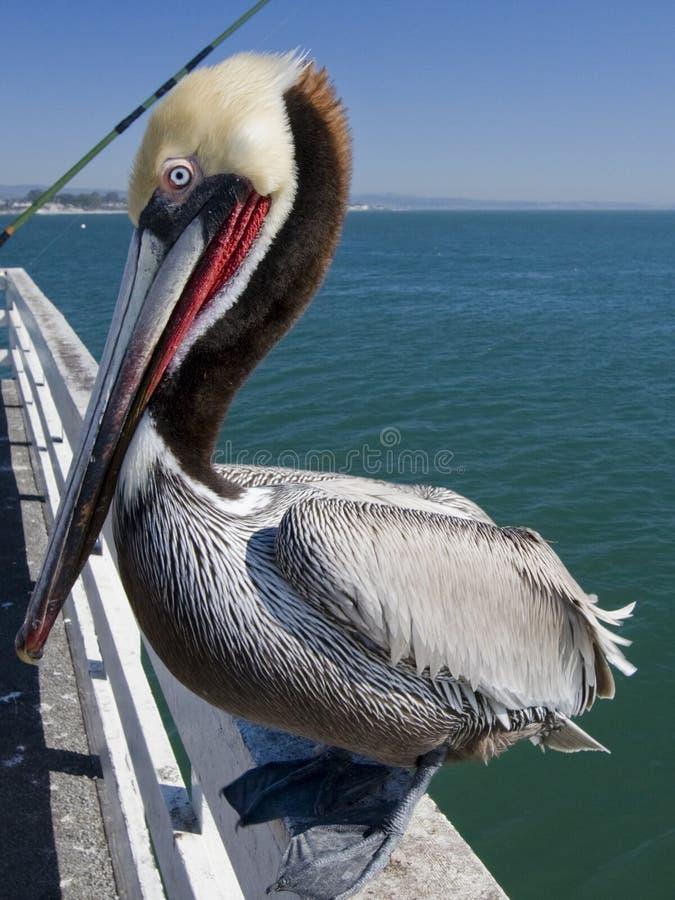 Free Pelican Stock Image - 4292671