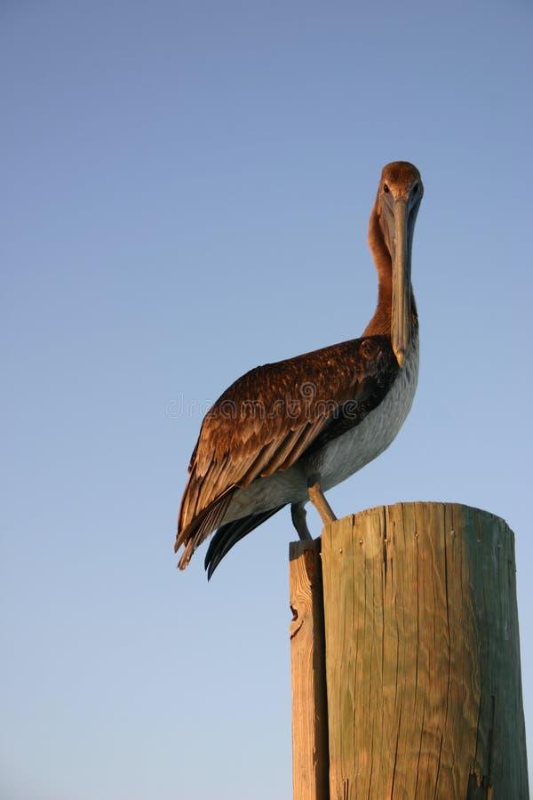 Free Pelican Royalty Free Stock Photos - 538658