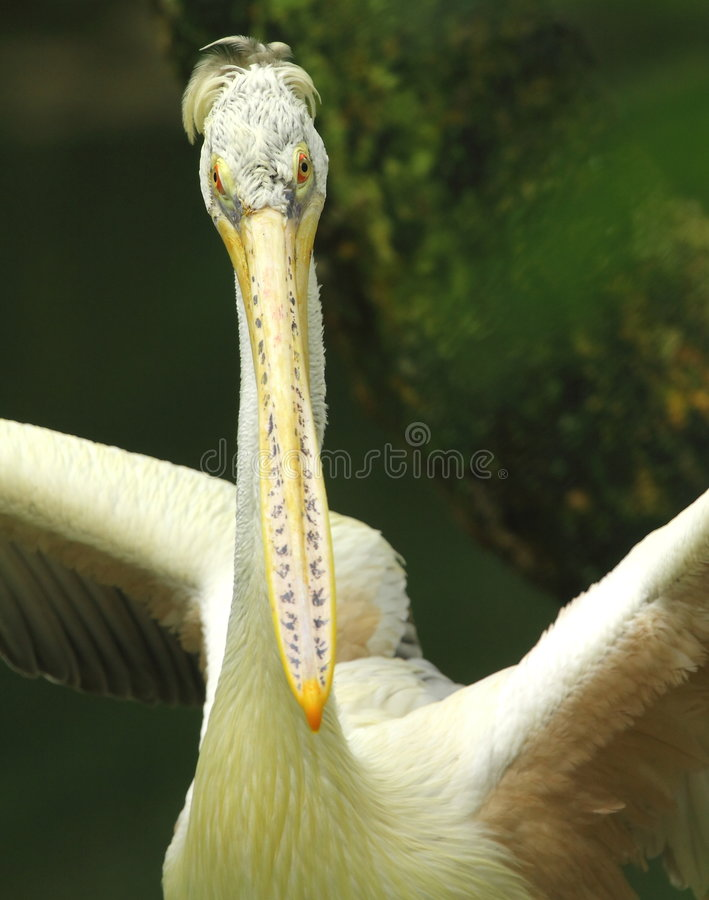 Download Pelican Stock Photography - Image: 7008142