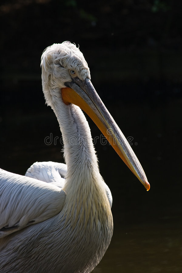 Pelican. Large water bird with a distinctive pouch under the beak stock photos