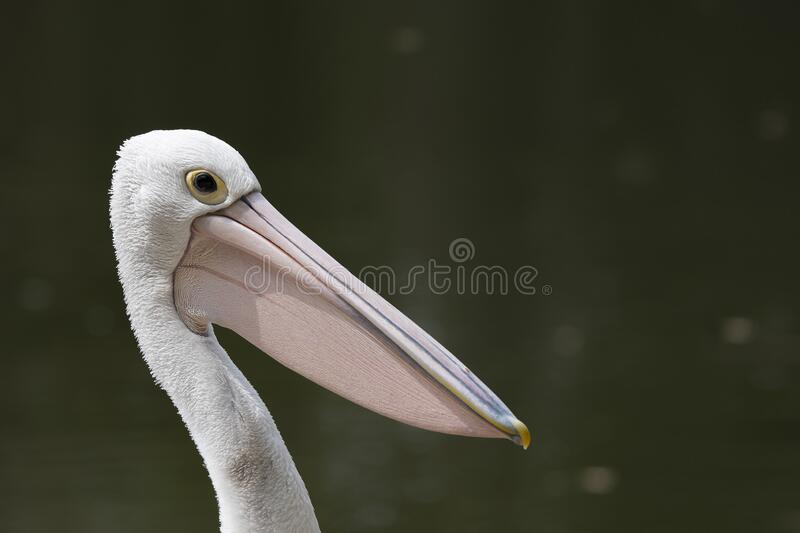 Pelican against dark natural background and strong sunlight royalty free stock photos