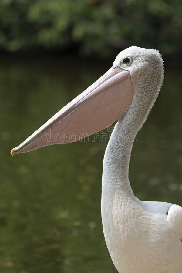 Pelican against water background in Queensland Australia royalty free stock images