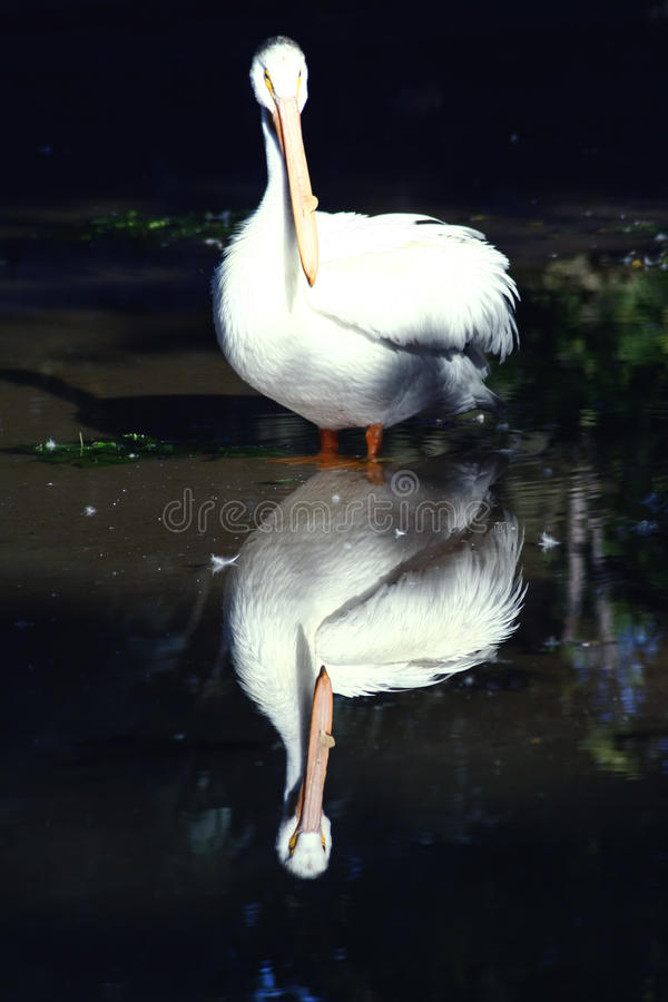 Free Pelican And His Reflection Stock Photos - 13130863