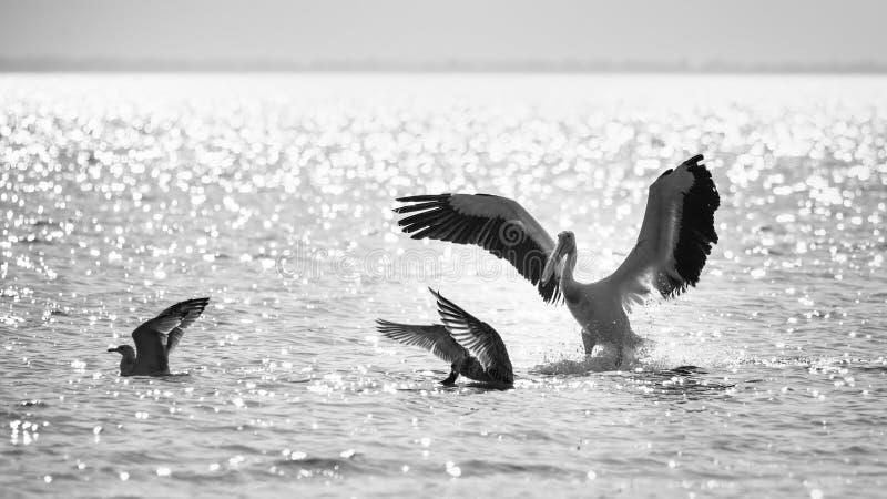 Pelican attacks gull, to take away fish.  royalty free stock image