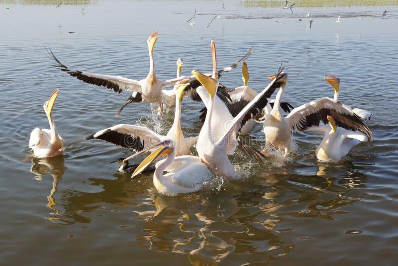 Pelican, Awassa, Ethiopia, Africa. Great White Pelicans on Lake Awassa, Ethiopia, Africa stock photos