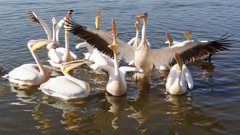 Pelican, Awassa, Ethiopia, Africa. Great White Pelicans on Lake Awassa, Ethiopia, Africa royalty free stock photos