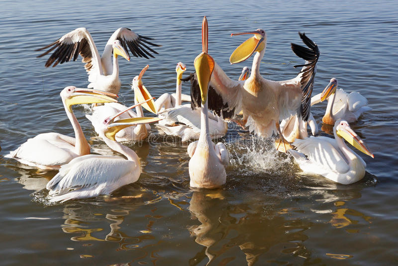 Pelican, Awassa, Ethiopia, Africa. Great White Pelicans on Lake Awassa, Ethiopia, Africa royalty free stock images