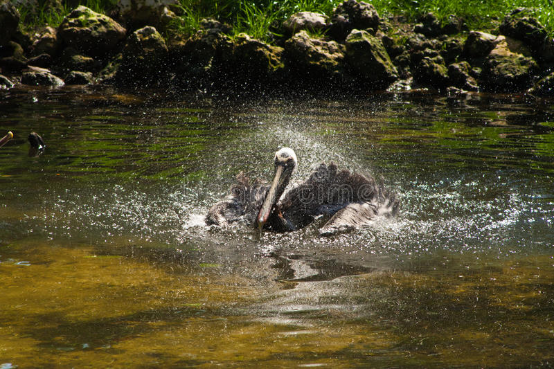 Download Pelican Bird Bathing In Pond Stock Image - Image: 19001691