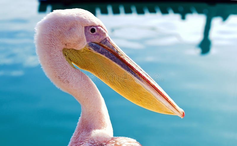 Download Pelican in the bay stock image. Image of birds, caribbean - 22301169