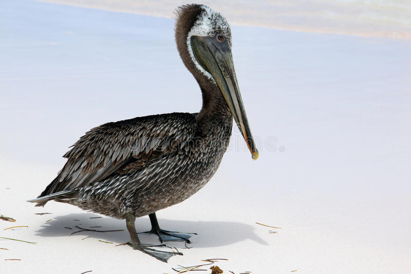 Dominican Republic, Punta Cana - pelican on the beach stock photo
