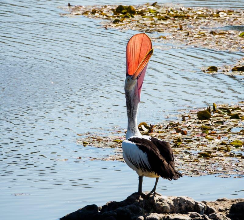 Pelican with Beak Open Wide stock image