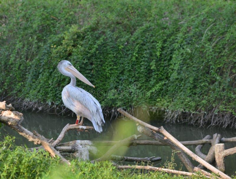 Pelican large beak water bird. Pelican big beak water bird swimming royalty free stock photo