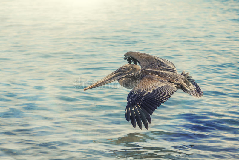Pelican bird royalty free stock photography