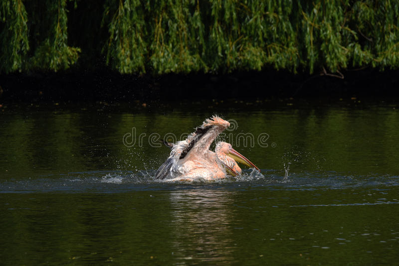 Pelican bird in green pond. In spring time stock photography