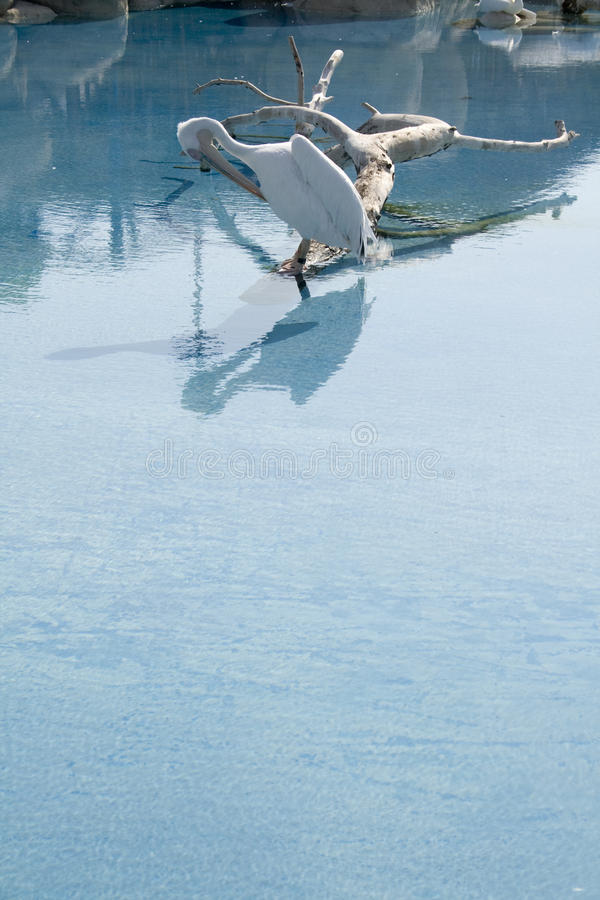Download Pelican bird in lake stock photo. Image of wading, outdoors - 21005848
