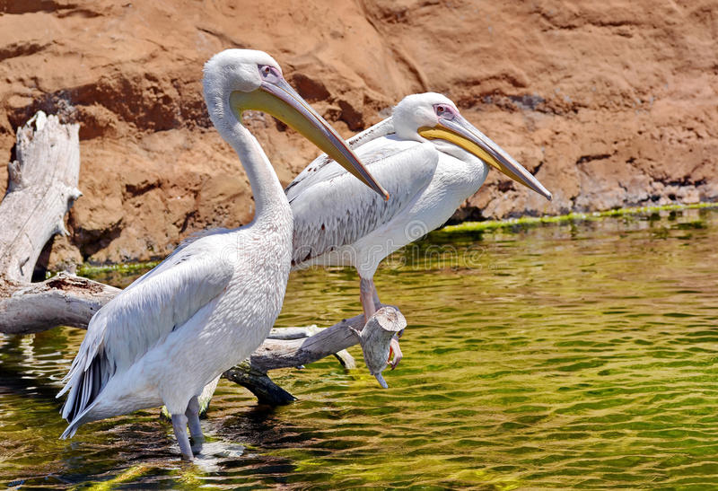 Pelican. Bird resting on water royalty free stock photography