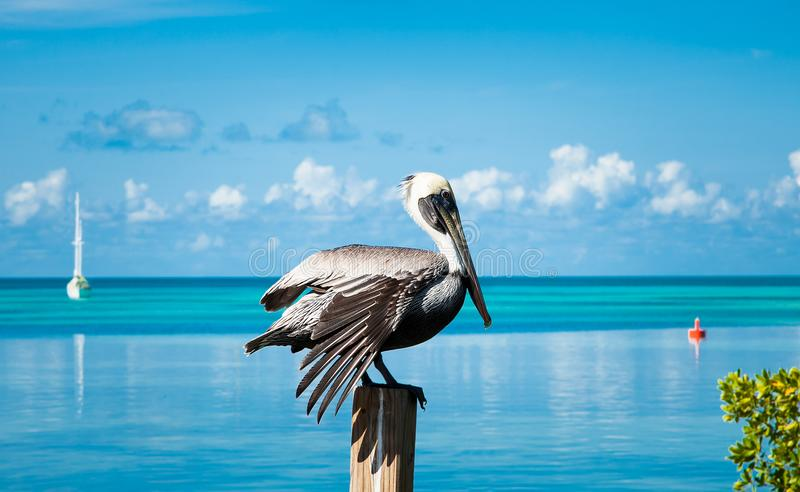 Pelican bird resting on the wooden pillar in front of the sea wa stock photography