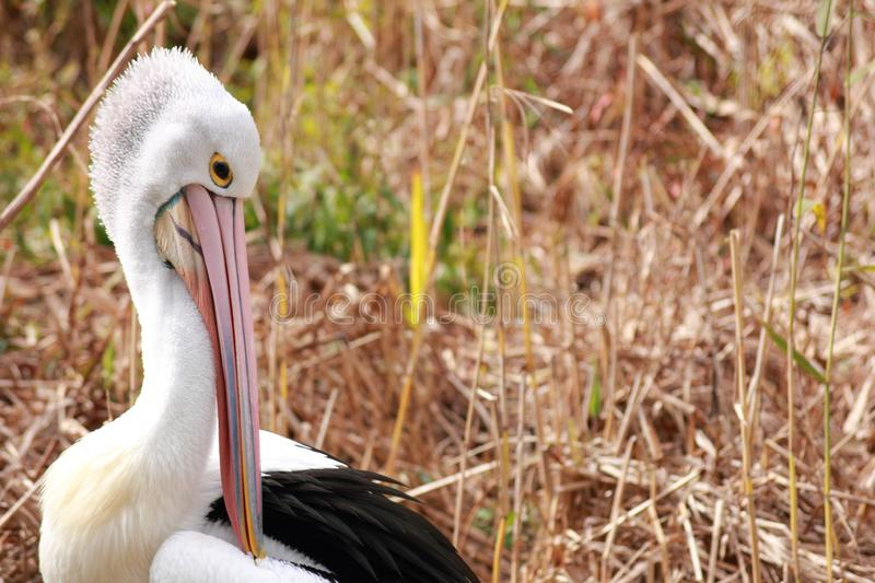 Pelican bird in the wild. Portrait of a pelican in the nature stock photography