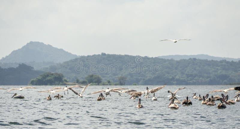Pelican birds flock flight over water at minneriya  Sri lanka water,  wildlife birds. Pelicans flight over water, sky, feathers, animals, nature, group stock photo
