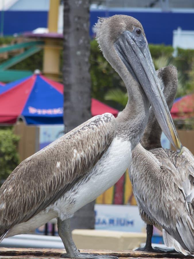 Pelican birds at Miami Seaquarium royalty free stock image