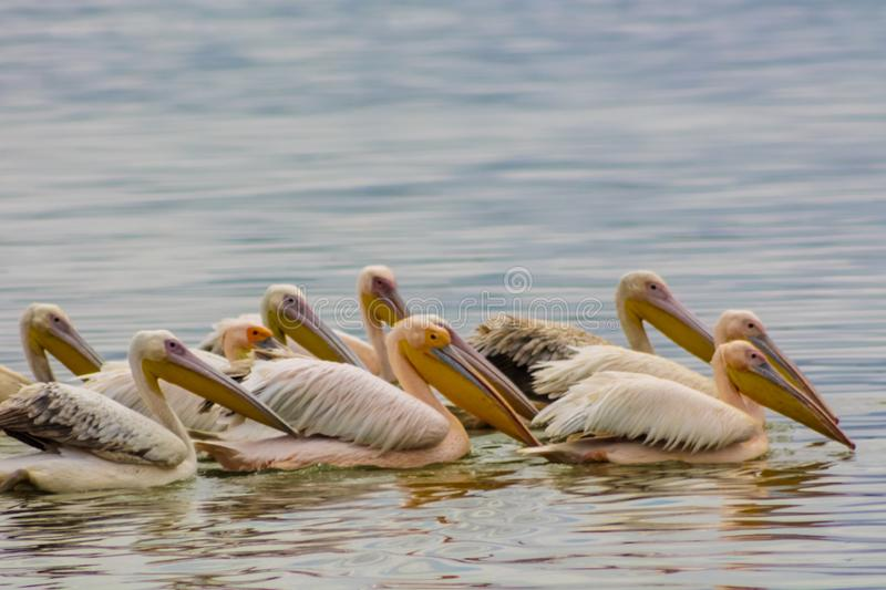 Pelican birds in the wild nature swim on a lake. Water surface. lost of pelicans flock of birds together in Africa royalty free stock image
