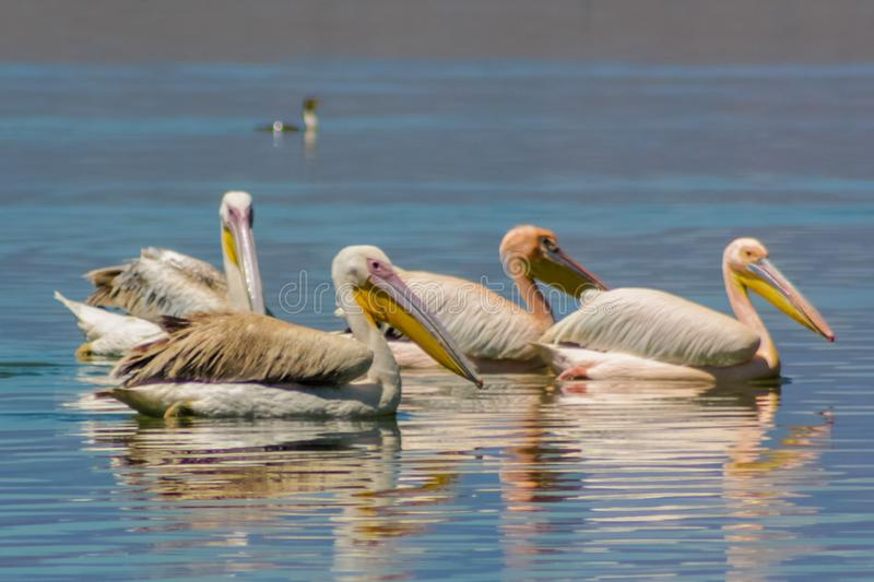 Pelican birds in the lake. Pelican birds in the wild nature swim on a lake water surface. lost of pelicans flock of birds together in Africa royalty free stock images