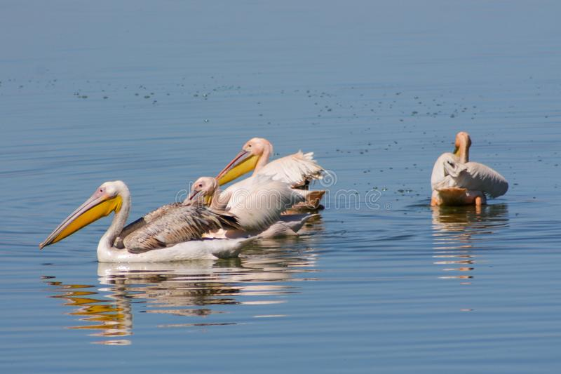 Pelican birds in the lake. Pelican birds in the wild nature swim on a lake water surface. lost of pelicans flock of birds together in Africa stock image