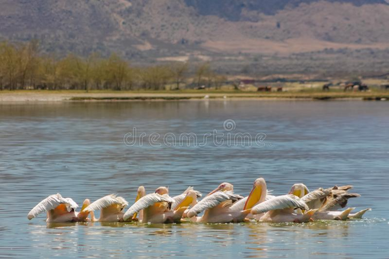 Pelican birds in the lake. Pelican birds in the wild nature swim on a lake water surface. lost of pelicans flock of birds together in Africa stock images
