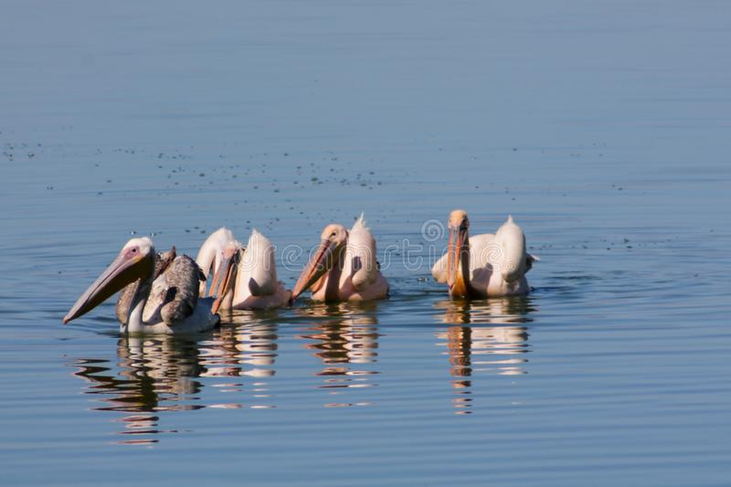 Pelican birds in the wild nature swim on a lake. Water surface. lost of pelicans flock of birds together in Africa royalty free stock images