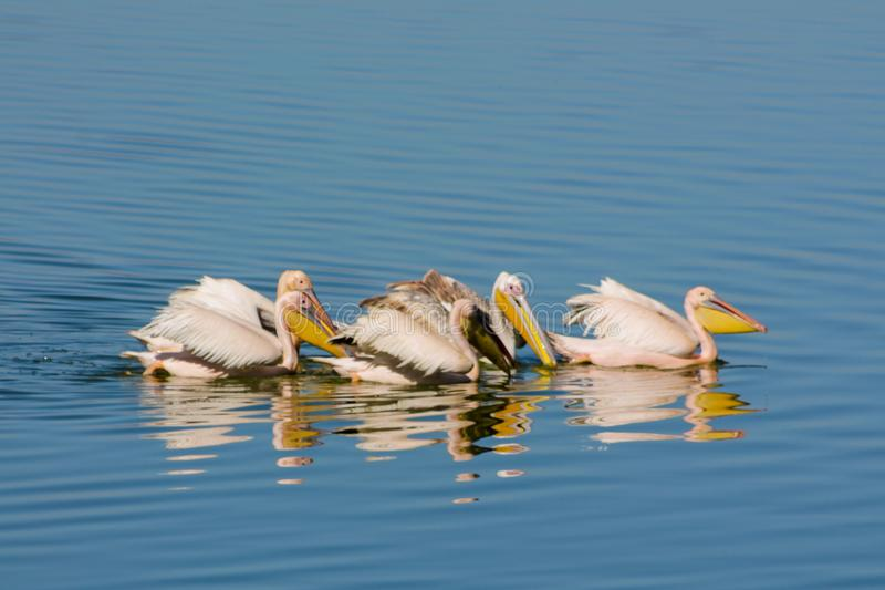 Pelican birds in the wild nature swim on a lake. Water surface. lost of pelicans flock of birds together in Africa stock photos