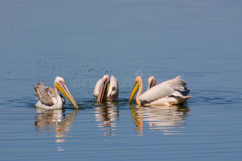Pelican birds in the wild nature swim on a lake. Water surface. lost of pelicans flock of birds together in Africa stock images
