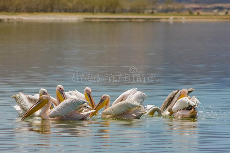 Pelican birds in the wild nature swim on a lake. Water surface. lost of pelicans flock of birds together in Africa royalty free stock photos