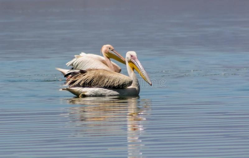 Pelican birds in the wild nature swim on a lake. Water surface. lost of pelicans flock of birds together in Africa stock image