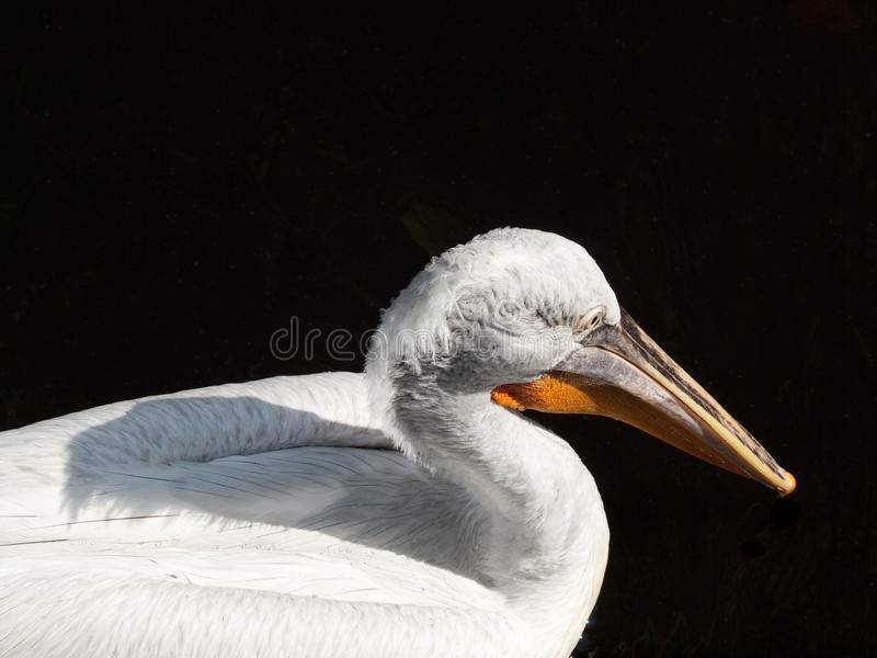 Pelican on Black Lake royalty free stock photo