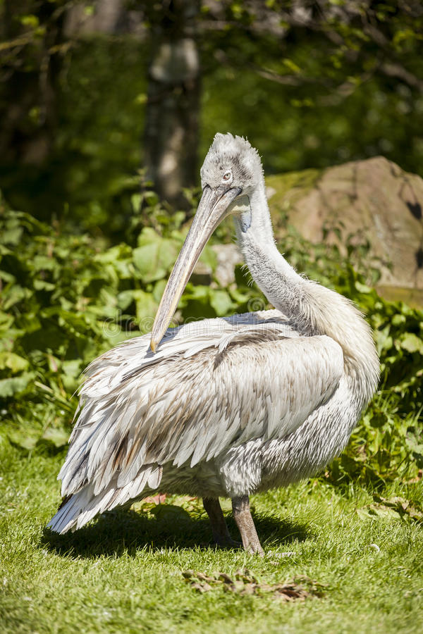Pelican at Blackbrook Zoo Staffordshire. Pelican at Blackbrook Zoological Bird Park, Leek Staffordshire, United Kingdom stock photos