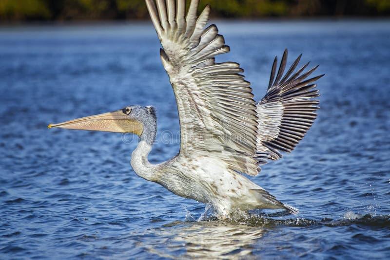 Pelican blanco, Pelecanus rufescens, está volando y aterrizando en la superficie de la laguna marítima en África, Senegal Es una  fotografía de archivo