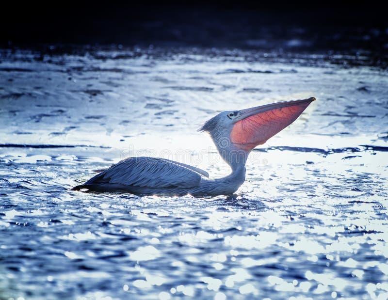 Pelican blanco, Pelecanus rufescens, flota en la laguna marítima en África, Senegal Es una foto de la vida salvaje de un pájaro e foto de archivo libre de regalías