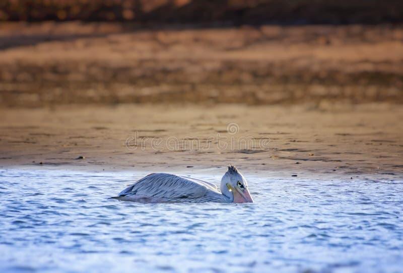 Pelican blanco, Pelecanus rufescens, flota en la laguna marítima en África, Senegal Es una foto de la vida salvaje de un pájaro e fotos de archivo libres de regalías