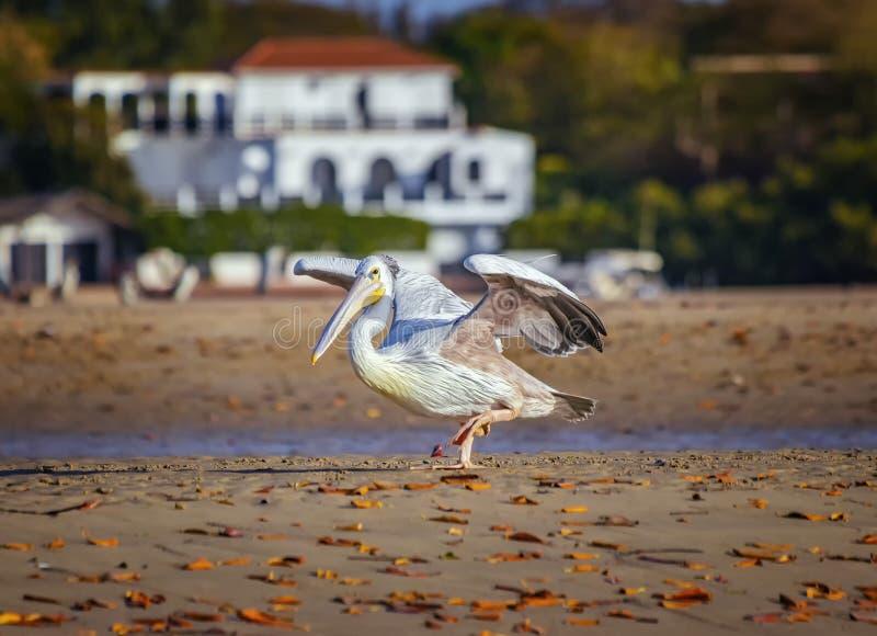 Pelican blanco, Pelecanus rufescens van a la playa cerca de la laguna marítima en África, Senegal Es una foto de un pájaro en la  fotografía de archivo