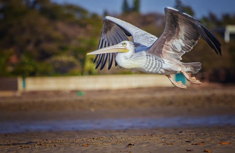 Pelican blanco, Pelecanus rufescens, vuela en la laguna marítima en África, Senegal Es una foto de la vida salvaje de un pájaro e foto de archivo
