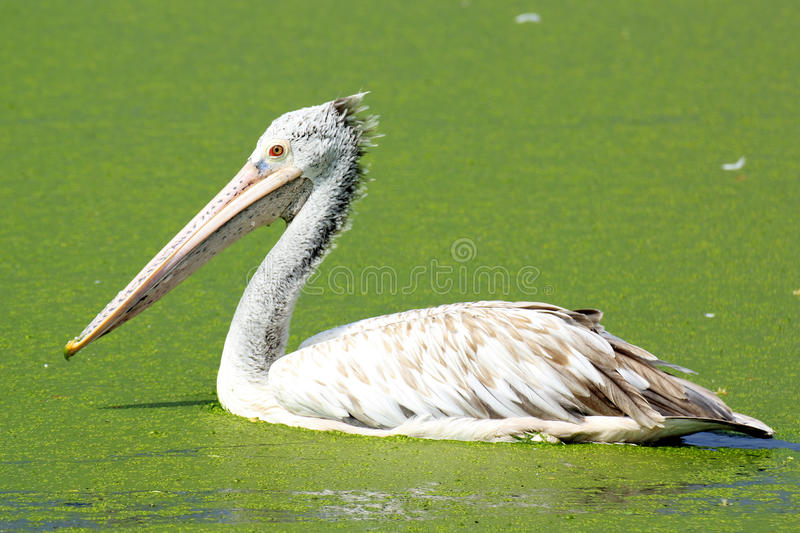 Pelican. Brown pelican/Brown pelican In natural marshes stock photo