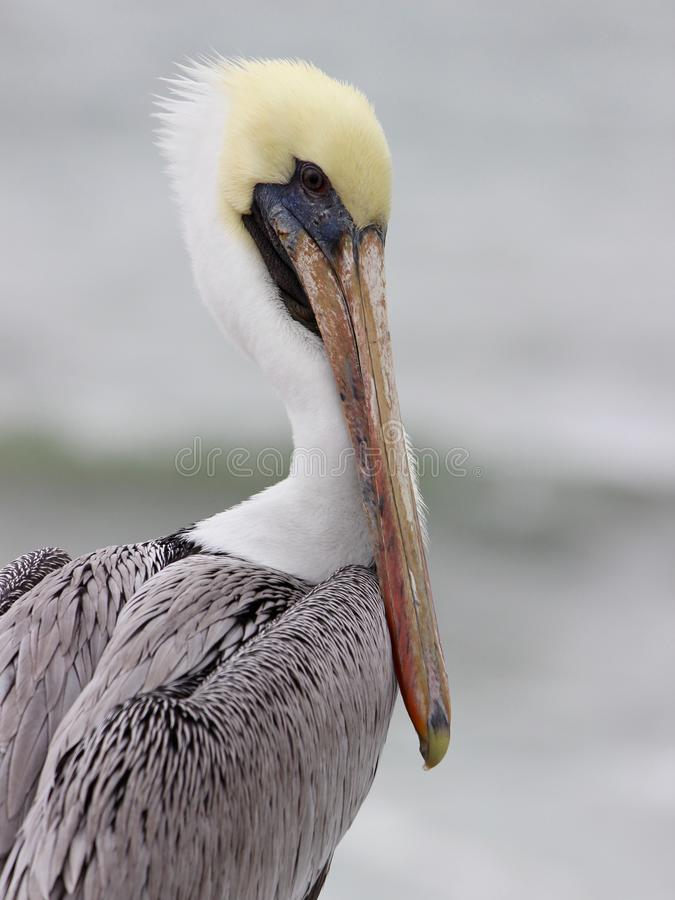 Pelican. A brown pelican Pelecanus occidentais in profile