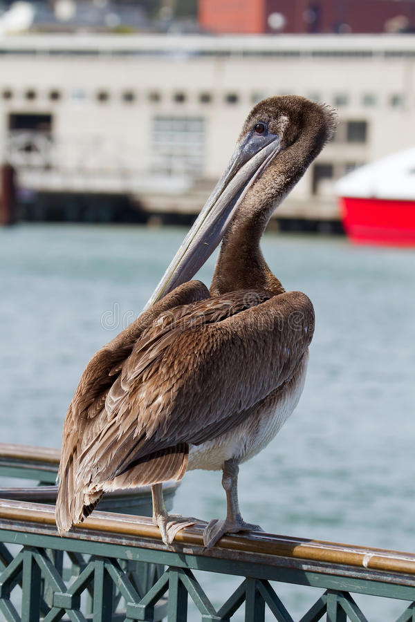 Free Pelican By The Pier In San Francisco Bay Stock Images - 21828514
