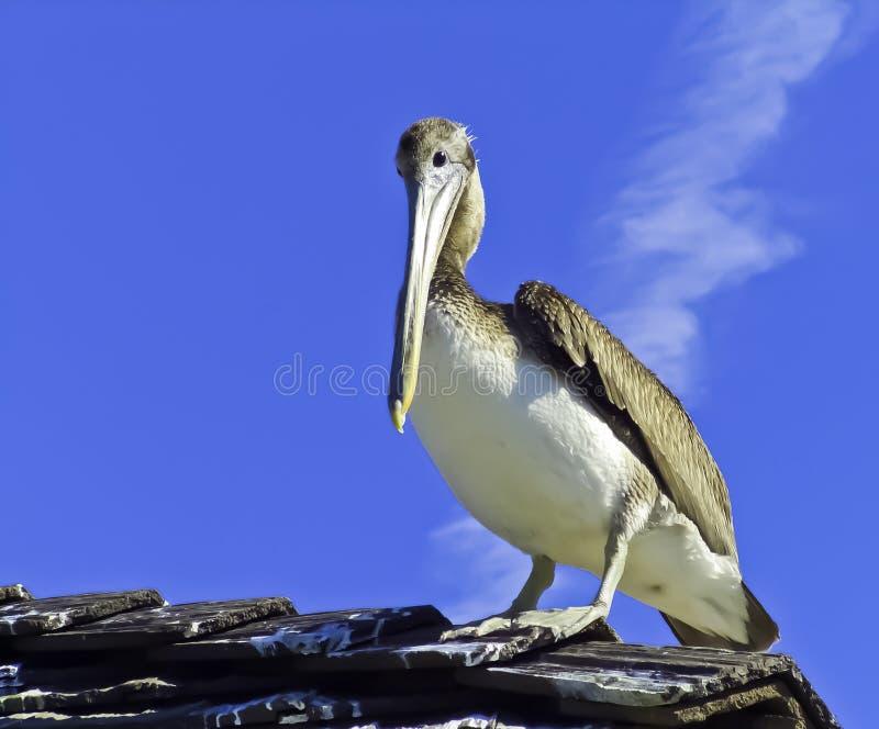 Pelican In California Royalty Free Stock Image