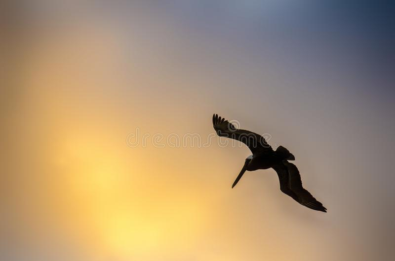 Pelican flying in the golden sky of Cancun, Mexico royalty free stock image