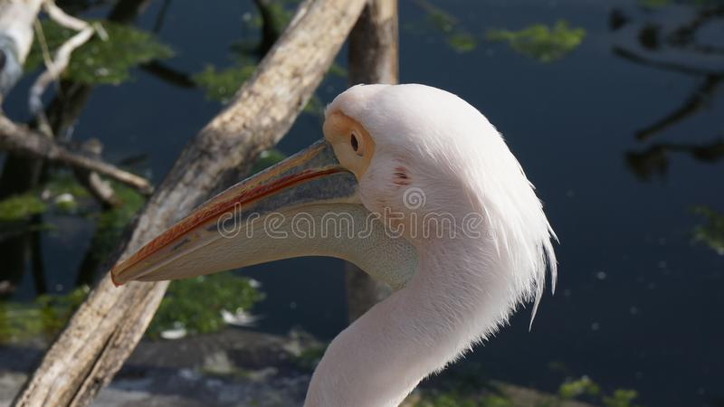 Pelican close up face pond in backround royalty free stock image