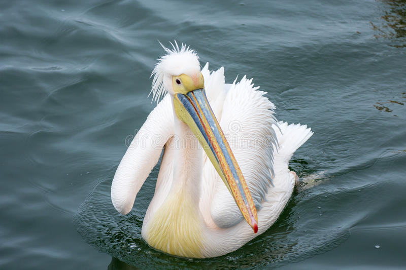 Pelican close-up portrait in the Walvisbay harbor in Namibia, on royalty free stock photos
