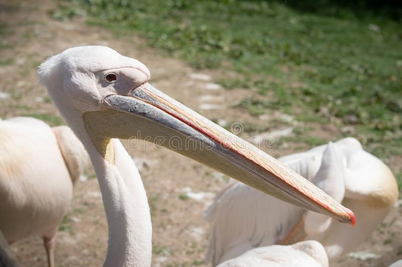 Pelican close up and sharp photo royalty free stock photo