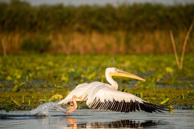 Pelican close voando sobre a água no delta do Danúbio, ave selvagem romena observando foto de stock royalty free