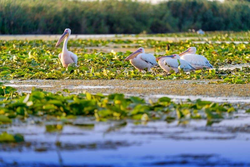Pelican colony resting in Danube Delta Romania. Wildlife artistic photography in Danube Delta Europe Romania royalty free stock photography